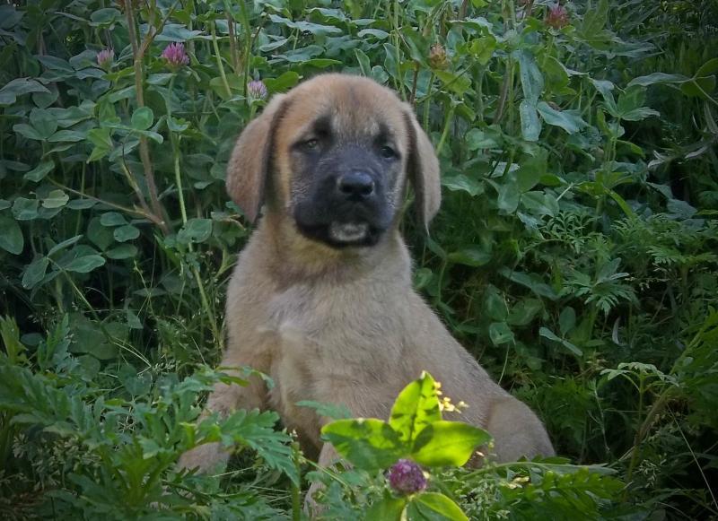 apricot mastiff pup